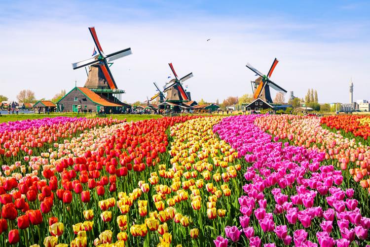 Tulips, Windmills. Amsterdam