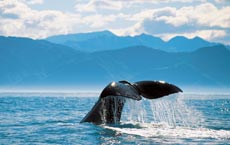 Whale's tail sticking out of the sea