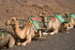 Row of camels in Lanzorote's Timanfaya National Park