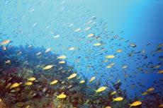 Fish swimming in the Red Sea